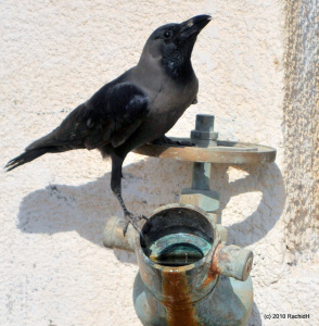 A House Crow by Rachid H