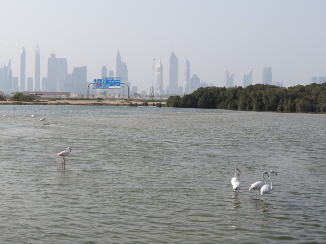 Flamingoes on the Ras Al Khor wetlands with Dubai's skyline in the background. Photo: Adriana Ford